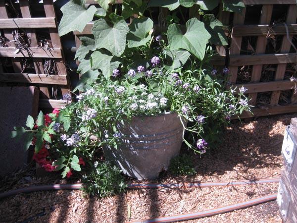 Our House - vegie garden-2
